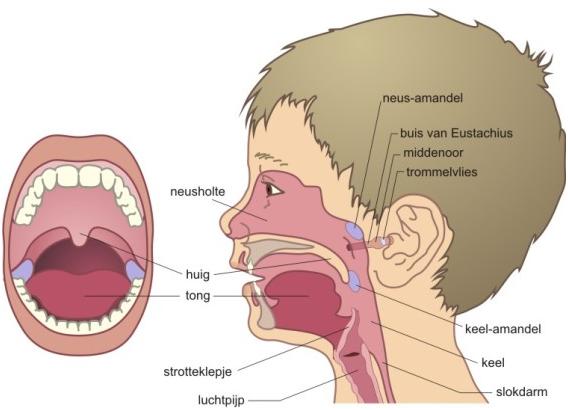 Functie keelholte
